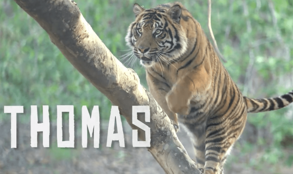 Thomas the tiger video
