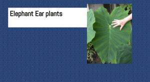 elephant ear plants
